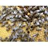 Пчелопакеты 2012.  Продажа пчелопакетов карпатской породы