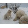 южнорусская овчарка щенок